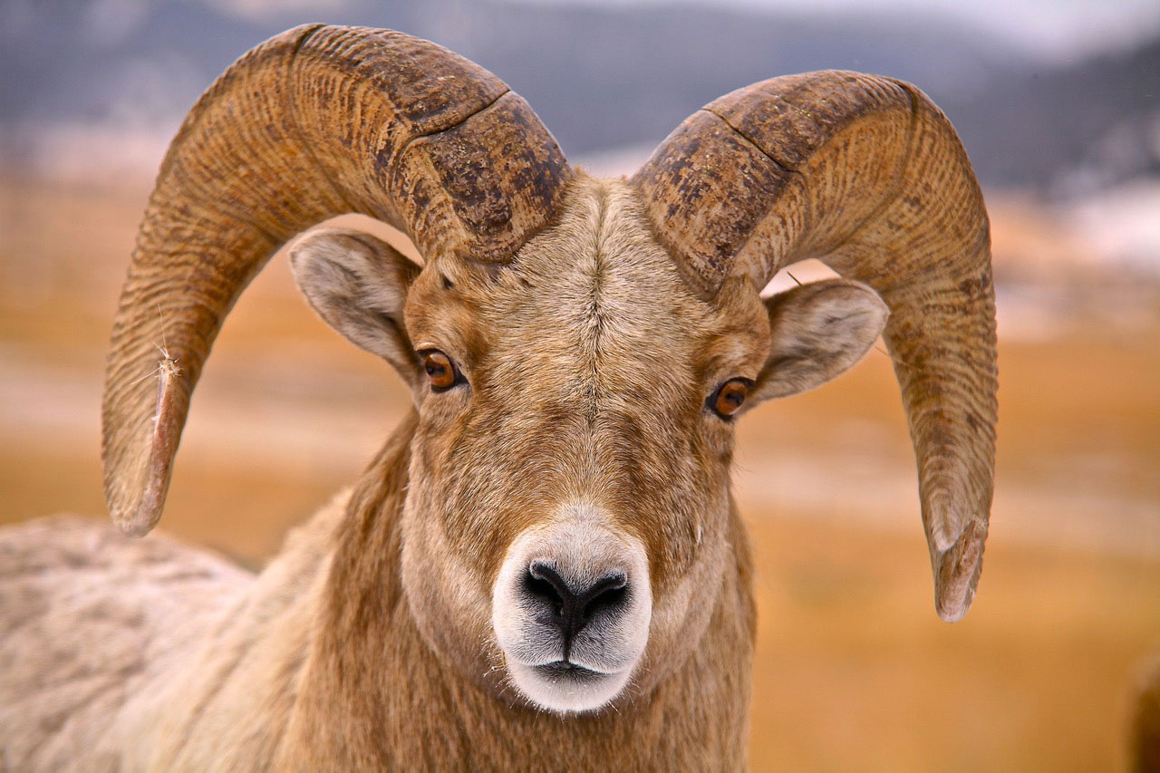 Big Horn Ram Print on Canvas by Tom Curry