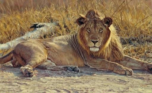 John Banovich Lion Print