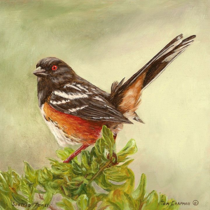 tom chapman spotted towee bird painting